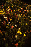 Poppy Flowers at night Stock Photo