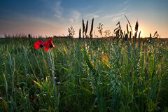 Poppy flowers and oat on field Royalty Free Stock Photography