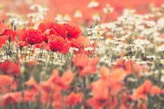 Poppy Flowers och kamomill Royaltyfri Fotografi