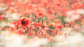 Poppy Flowers och kamomill Arkivbild