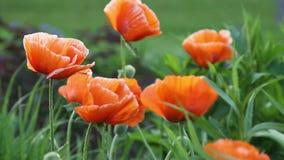 Poppy Flowers stock video footage