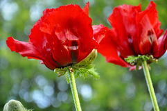 Poppy Flowers orientale rossa Fotografia Stock