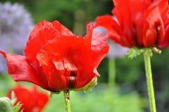 Poppy Flowers orientale rossa Fotografie Stock Libere da Diritti