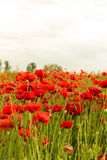 Poppy flowers outdoors in beautiful illuminated red colour Stock Images