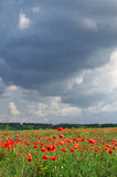 Poppy flowers. And overcast sky Royalty Free Stock Photography