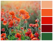 Poppy flowers with palette color swatches Royalty Free Stock Photos
