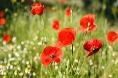 Poppy flowers (papaver rhoeas) Stock Images