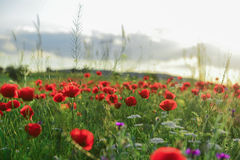 Poppy flowers and peaceful nature. Fields;poppy flowers and peaceful nature Stock Image