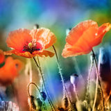 Poppy flowers, photography Royalty Free Stock Photos