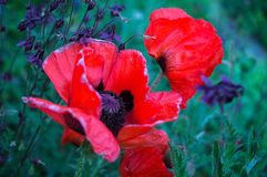 Poppy stock image