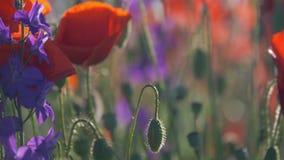 Poppy flowers poppy field beautiful nature stock video