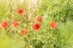 Poppy flowers. On blurred green nature background. banner for websites Royalty Free Stock Photos