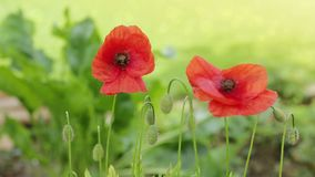Two poppy flowers . Poppy flowers in rays sun. Two red poppies in bright evening light stock footage