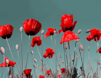 Poppy flowers. Red poppy flowers on green background Royalty Free Stock Image