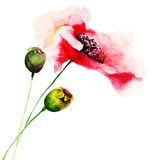 Poppy flowers. Red Poppy flowers, watercolor illustration Stock Images