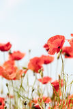 Poppy flowers retro peaceful summer background Stock Photos