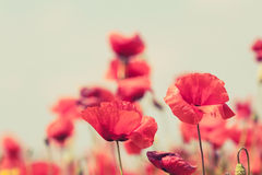 Poppy flowers retro peaceful summer background Royalty Free Stock Image