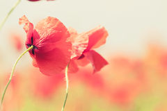 Poppy flowers retro peaceful summer background Stock Photo