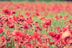 Poppy flowers retro peaceful summer background Stock Images