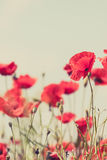 Poppy flowers retro peaceful summer background Royalty Free Stock Images