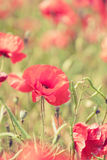 Poppy flowers retro summer background Stock Photo