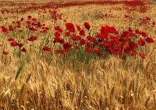 Poppy Flowers rossa dentro il giacimento di grano Fotografia Stock Libera da Diritti