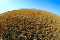 Poppy Flowers salvaje imagen de archivo