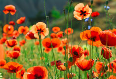 Poppy flowers. Shallow depth of field Stock Image