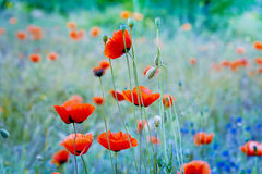 Poppy flowers. Shallow depth of field.  Royalty Free Stock Photo