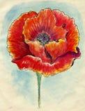 Poppy Flowers Sketch Royalty Free Stock Photography