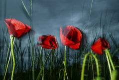 Poppy flowers Stock Images
