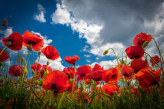 Poppy flowers in the sky. Many poppy flowers from the bottom in front of blue sky Stock Images