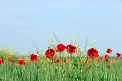 Poppy flowers in spring meadow royalty free stock images