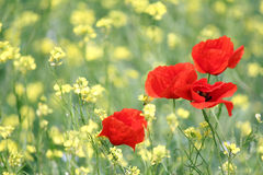 Poppy flowers spring scene Stock Images