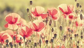 Poppy flowers Stock Photography