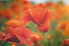 Poppy flowers in a summer field royalty free stock photos
