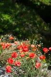Poppy flowers in sunlight. royalty free stock image