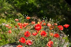 Poppy flowers in sunlight. Colorful field of poppies. Stock Image