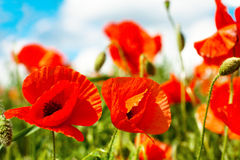 Poppy flowers in sunny day Stock Image