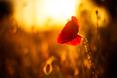 Poppy flowers in sunset Royalty Free Stock Images