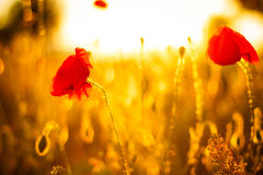 Poppy flowers in sunset Royalty Free Stock Photos