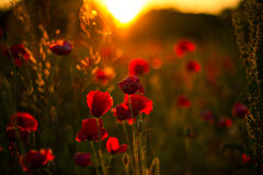 Poppy flowers in sunset, golden background Royalty Free Stock Photos