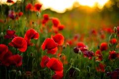 Poppy flowers in sunset, golden background Stock Photo