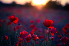 Poppy flowers in sunset, golden background Royalty Free Stock Photo