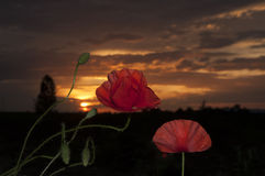 Poppy flowers at sunset Royalty Free Stock Images
