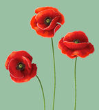 Poppy flowers. Three red poppy flowers on green Royalty Free Stock Photos