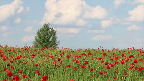 Poppy flowers and tree on meadow. Landscape stock video