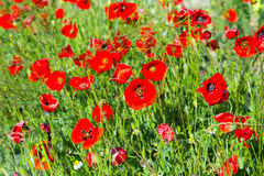 Poppy flowers on uncultivated field Royalty Free Stock Images