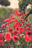 Poppy flowers in a vineyard Royalty Free Stock Image