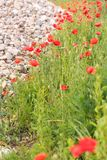 Poppy flowers wallpaper. Poppy flowers on blurred nature background. copy space Royalty Free Stock Photography
